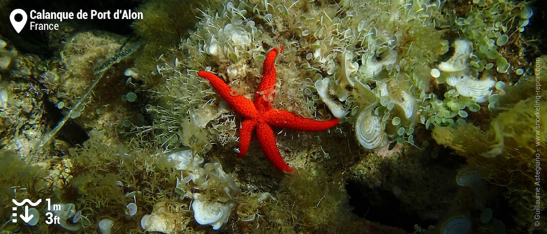Red starfish at Calanque de Port d'Alon