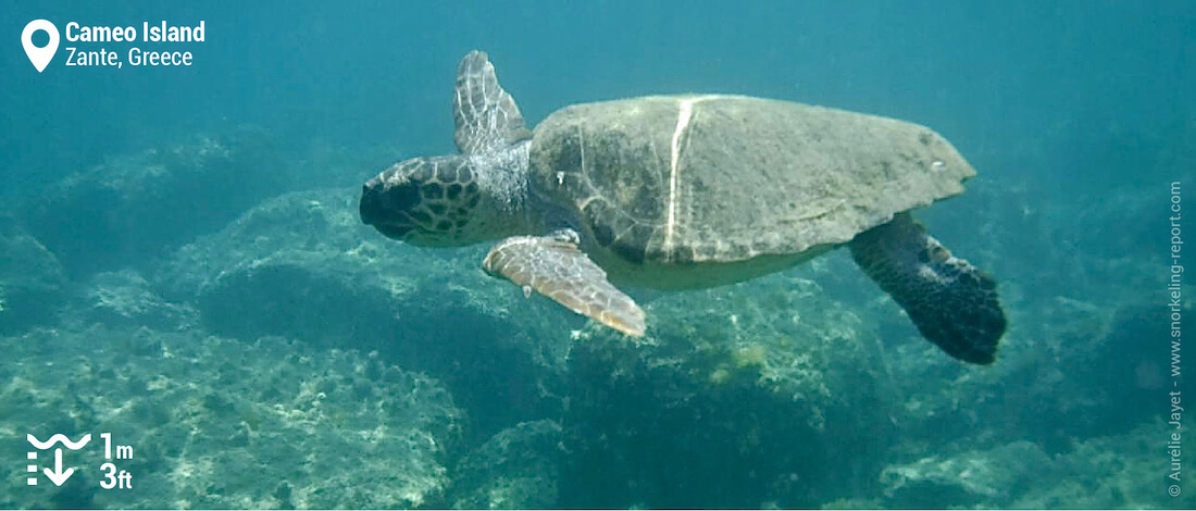 Snorkeling with loggerhead sea turtles at Cameo Island