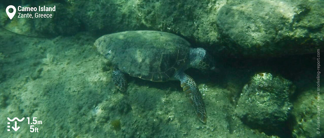 Loggerhead sea turtle at Laganas Beach