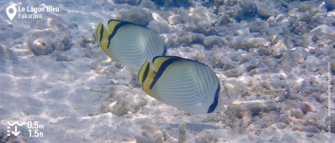 Vagabond butterflyfish at Fakarava Blue Lagoon