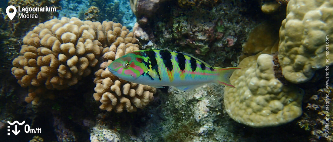 Sixbar wrasse in the Lagoonarium, Moorea