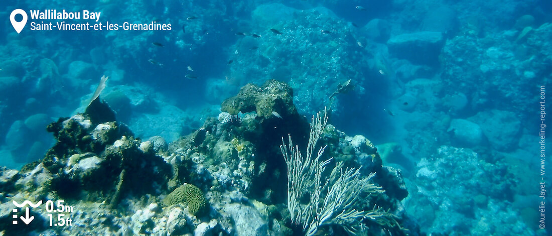 Le récif corallien de Wallilabou Bay