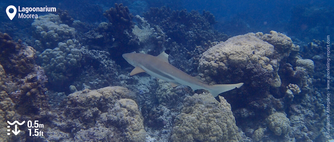 Snorkeling with reef sharks in the Lagoonarium, Moorea