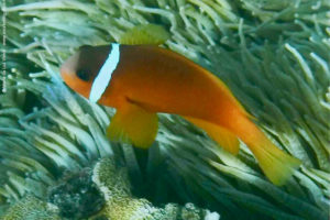 Amphiprion barberi