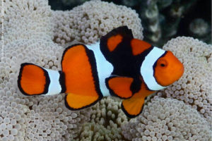 Amphiprion percula