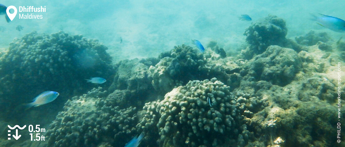 Green chromis over coral beds in Dhiffushi