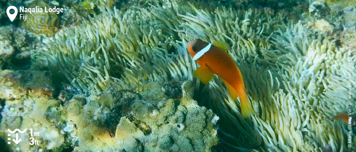 Fiji anemonefish in Wayasewa Island