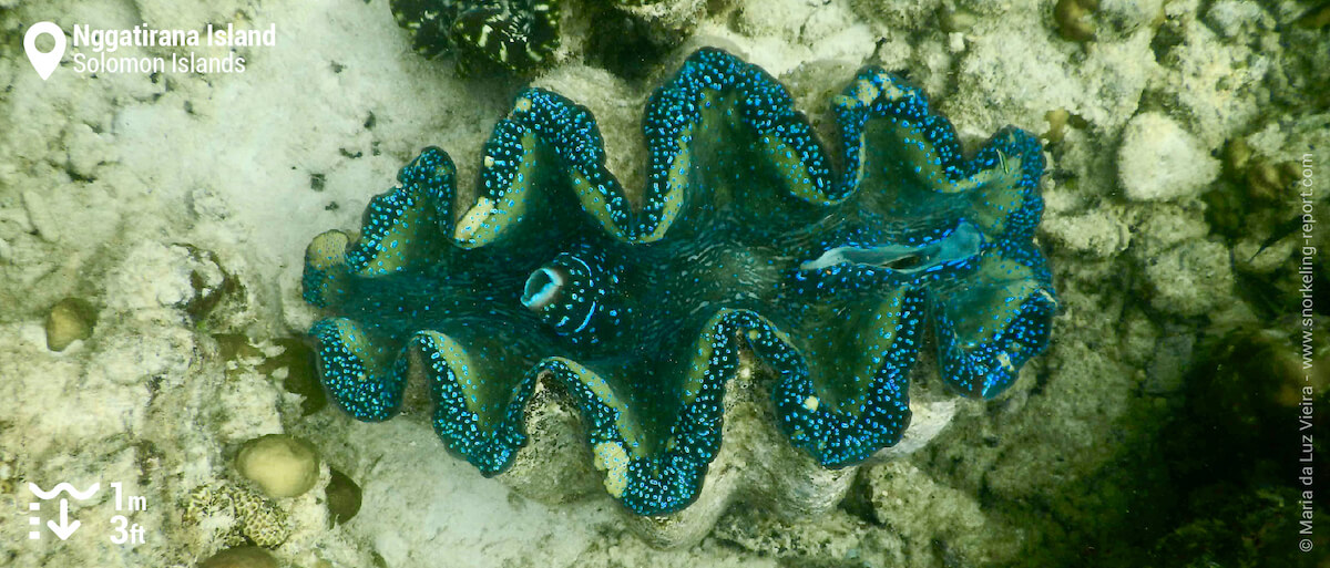 Giant clam at Nggatirana Island