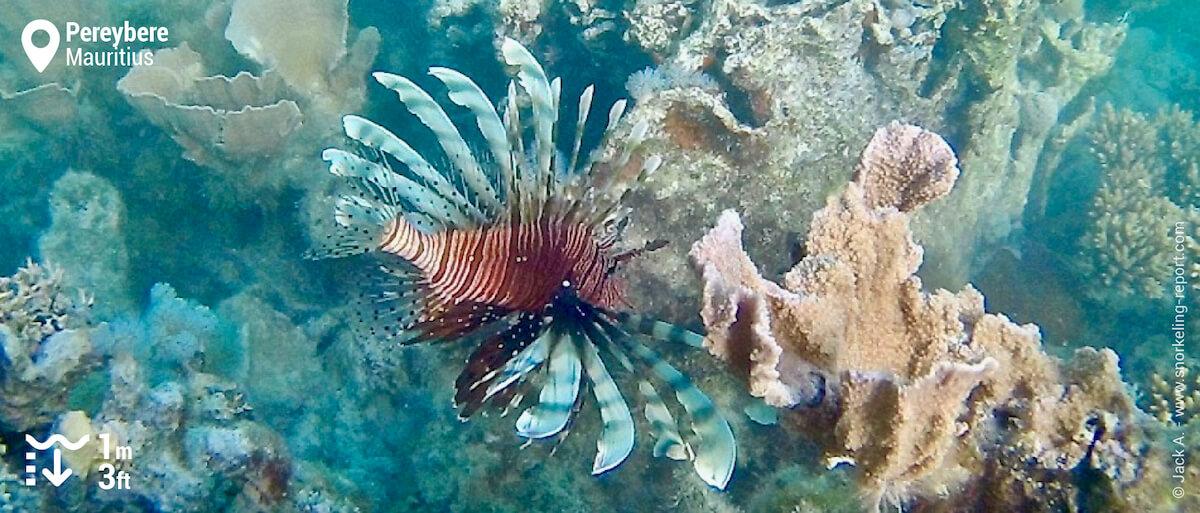 Indian Ocean lionfish
