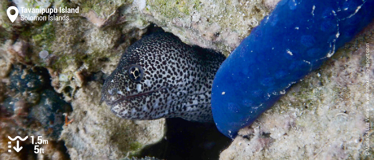 Paintspotted moray at Tavanipupu Island