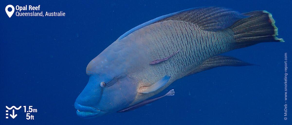 Poisson Napoléon à Opal Reef