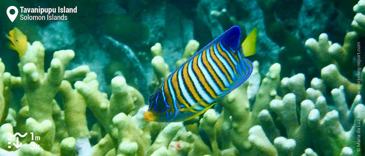 Regal angelfish over Tavanipupu Island coral reef