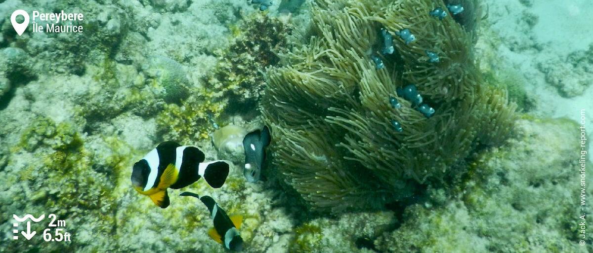 Le poisson-clown de Maurice, endémique des îles Maurice et Réunion, peut être aperçu à faible profondeur au niveau du tombant de Pereybere, face au Beach Club et à la plage du Mur.