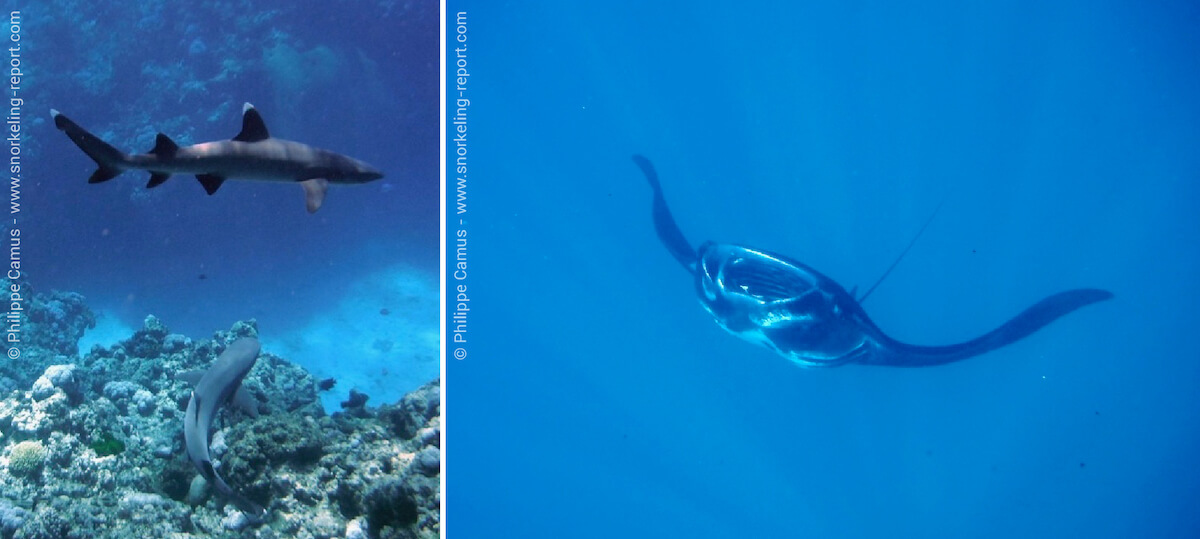 Snorkeling with sharks and manta rays in Fiji