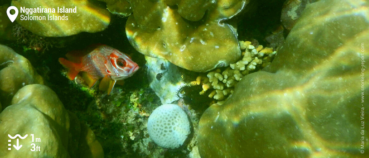 Squirrelfish at Nggatirana Island