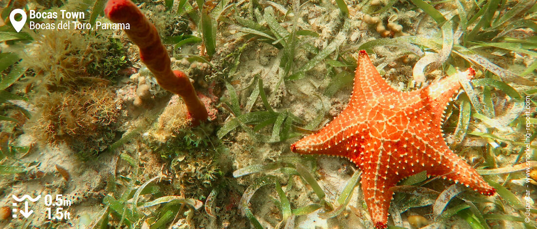 Cushion starfish and sponges in Bocas Town