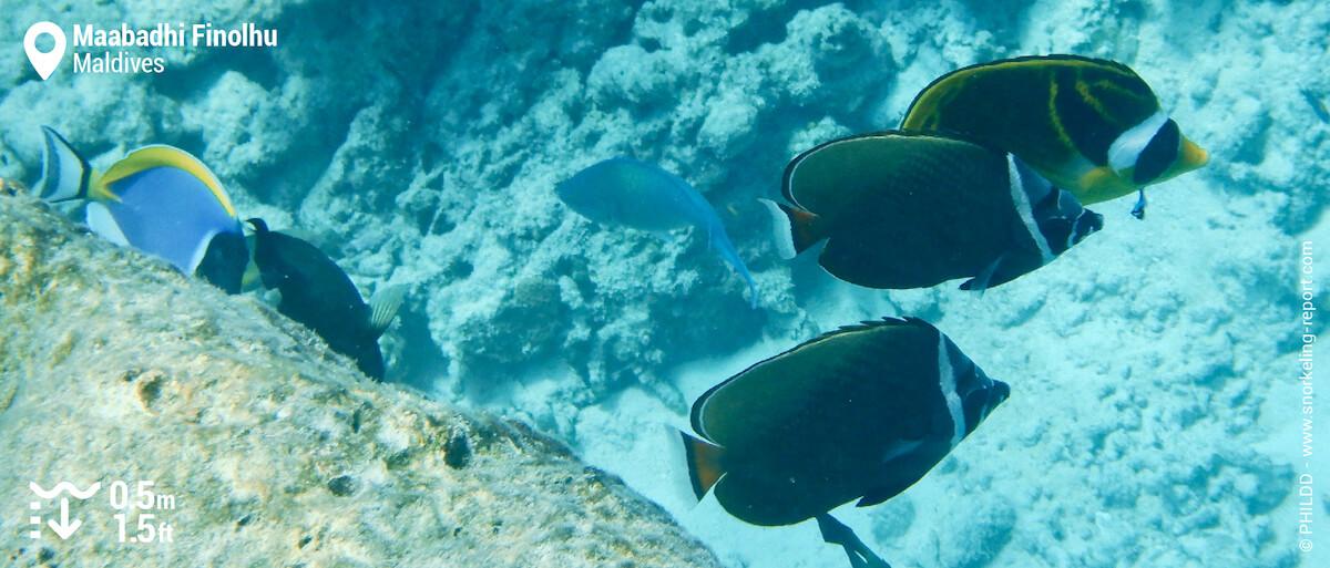 Surgeonfish and butterflyfish at Maabadhi Finolhu