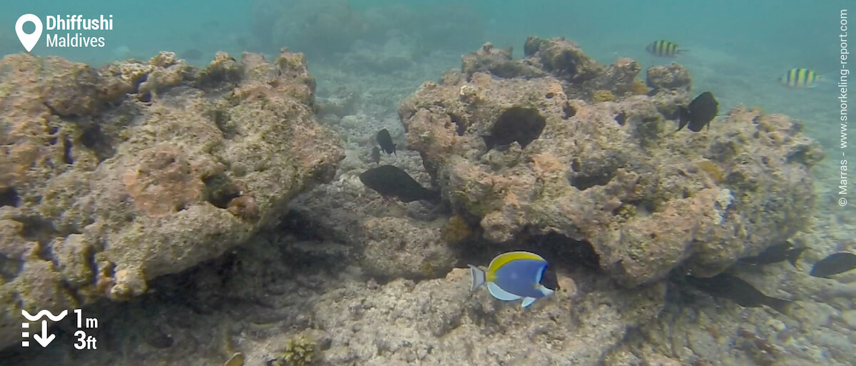 The coral patches found in zone 2 attract many fish species, including the powder blue tang.