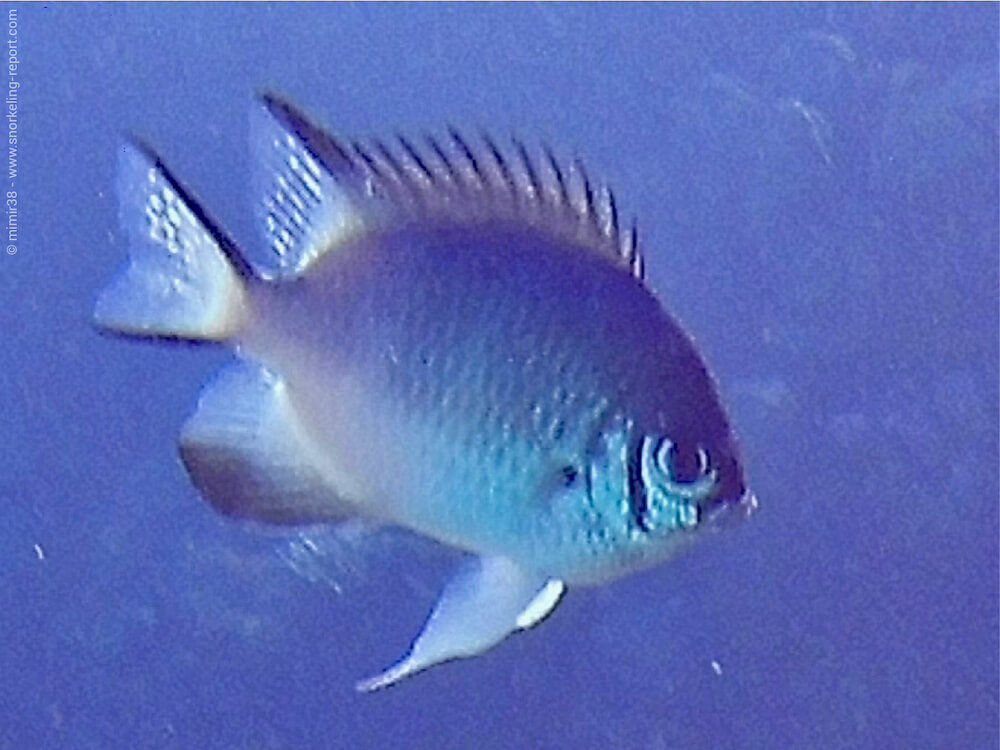 Amblyglyphidodon leucogaster