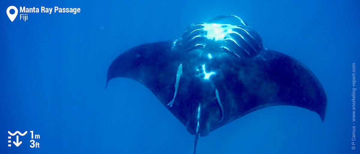 Manta ray looping Mantarray Island, Fiji