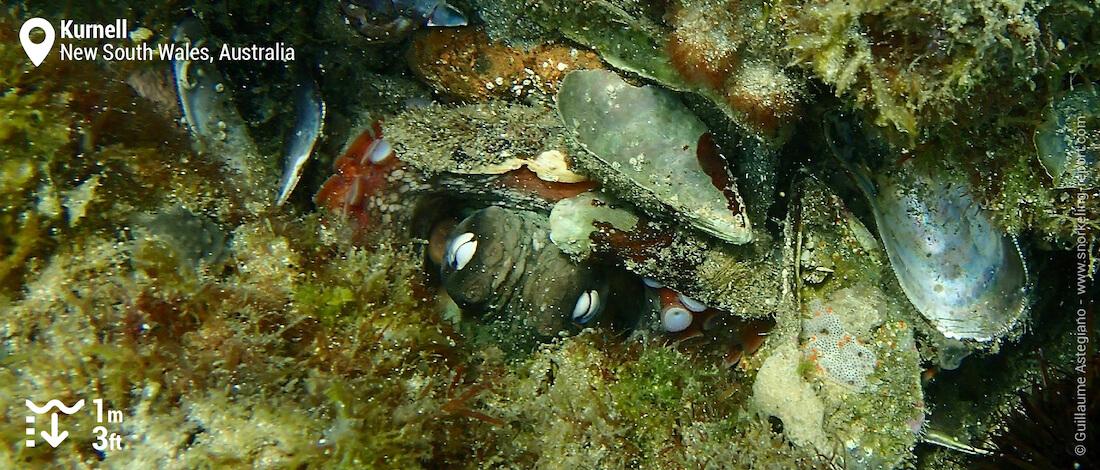 Octopus in Kurnell