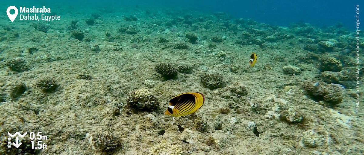 Poisson-papillon raton laveur de la Mer Rouge