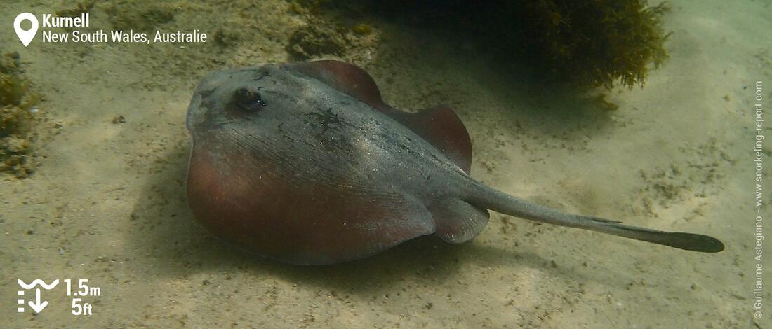 Snorkeling avec une raie pastenague à Kurnell