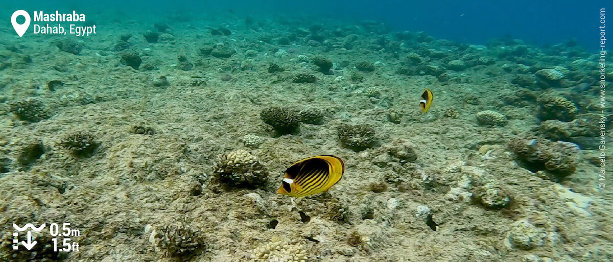 Red sea raccoon butterflyfish at Mashraba, Dahab