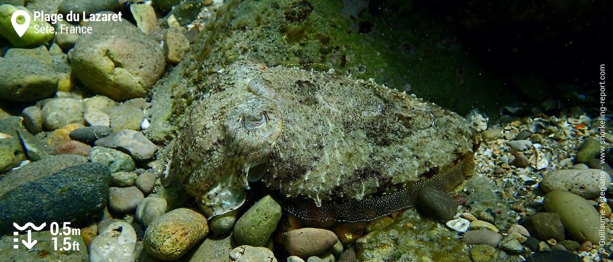 Common cuttlefish at Plage du Lazaret