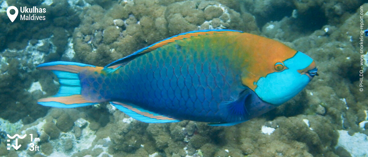 Singapore parrotfish in Ukulhas