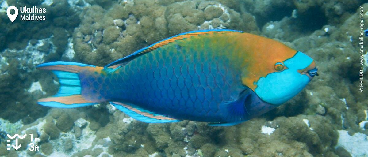 Singapore parrotfish in Ukulhas