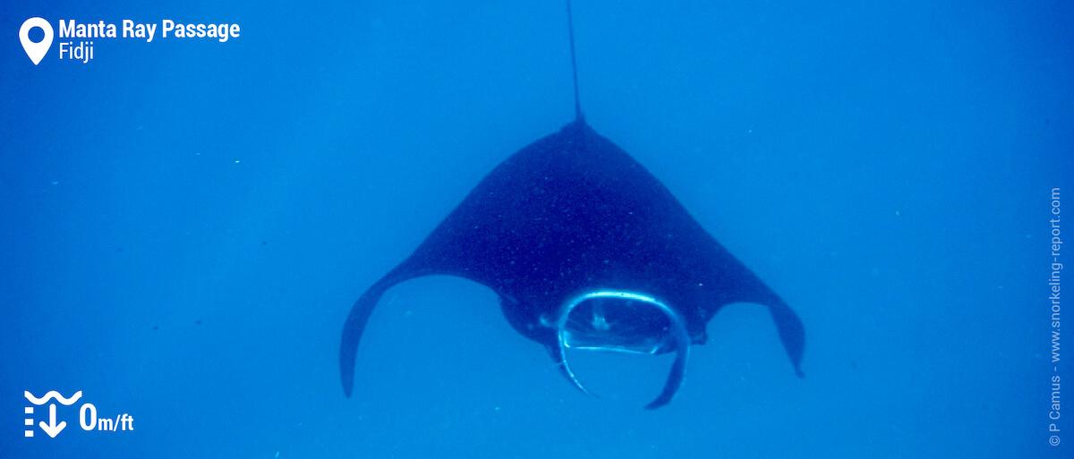 Snorkeling avec les raies manta au Manta Ray Passage, Barefoot Manta
