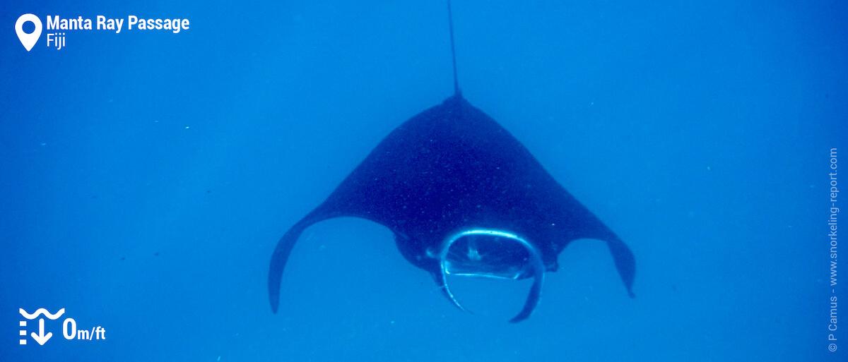 Snorkeling with manta rays at Manta Ray Passage, Fiji