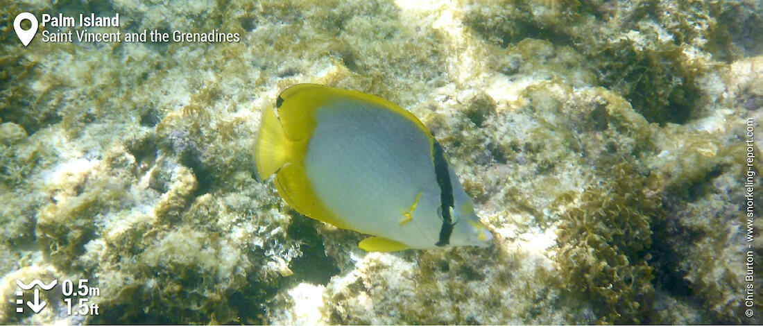Spotfin butterflyfish at Palm Island