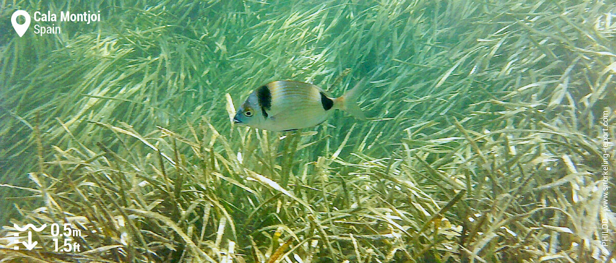 Two-banded sea bream at Cala Montjoi