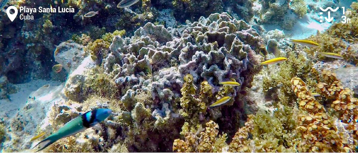 Bluehead wrasse at Playa Santa Lucia