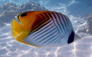Les poissons-papillons