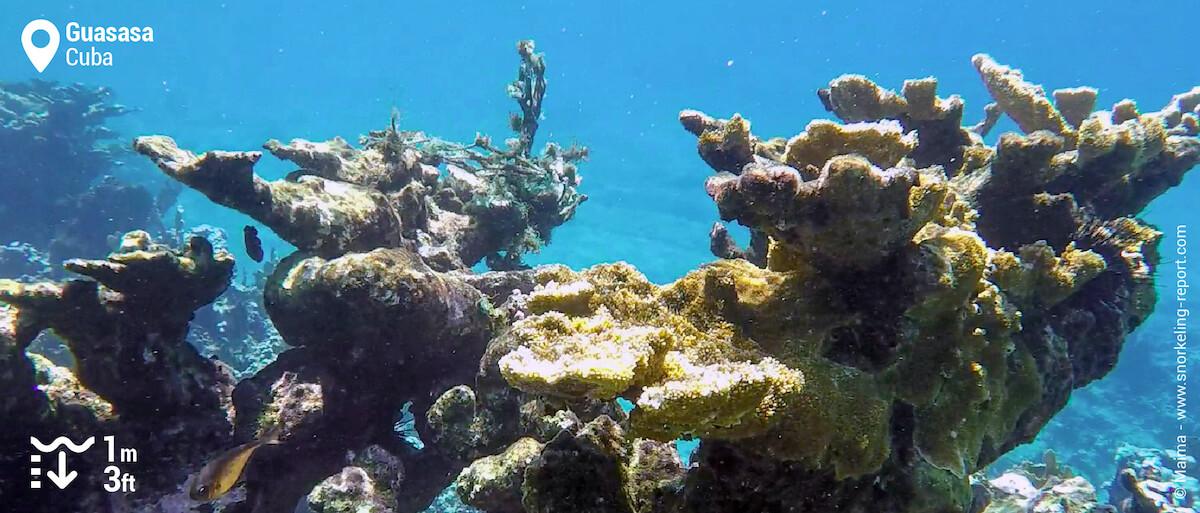 Elkhorn coral at Guasasa