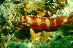 Epinephelus fasciatus