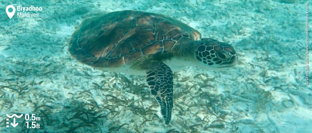 Green sea turtle in Biyadhoo