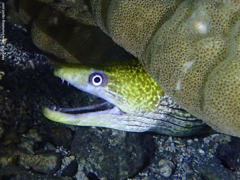 Gymnothorax undulatus