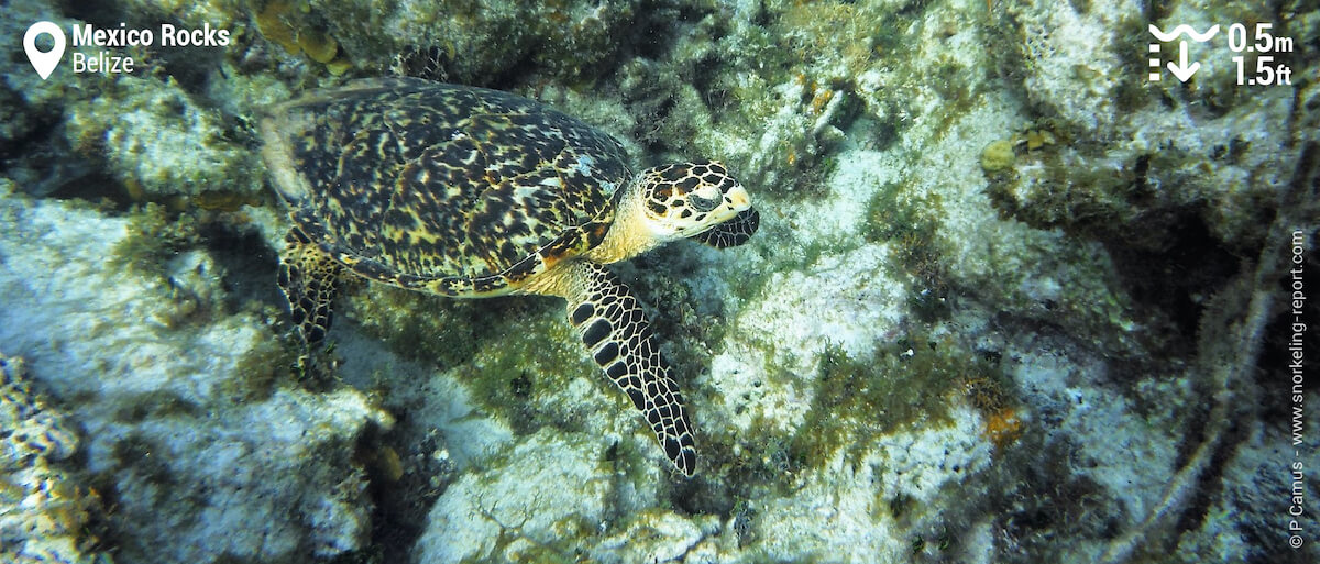 Hawksbill sea turtle at Mexico Rocks, Belize