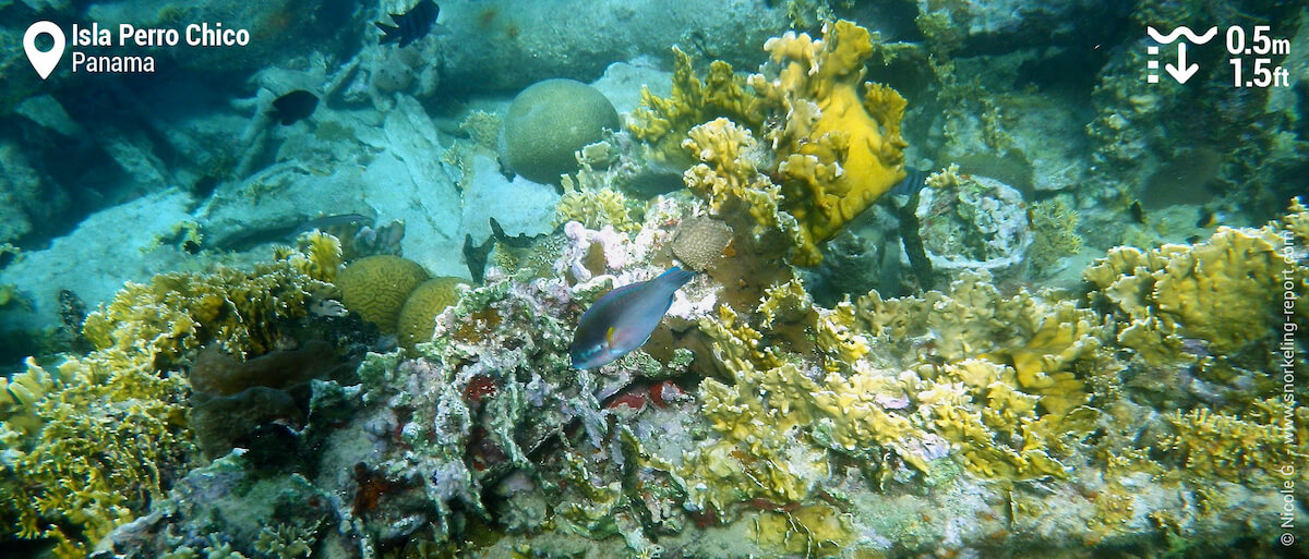 Coral and parrotfish at Isla Perro Chico barco hundido