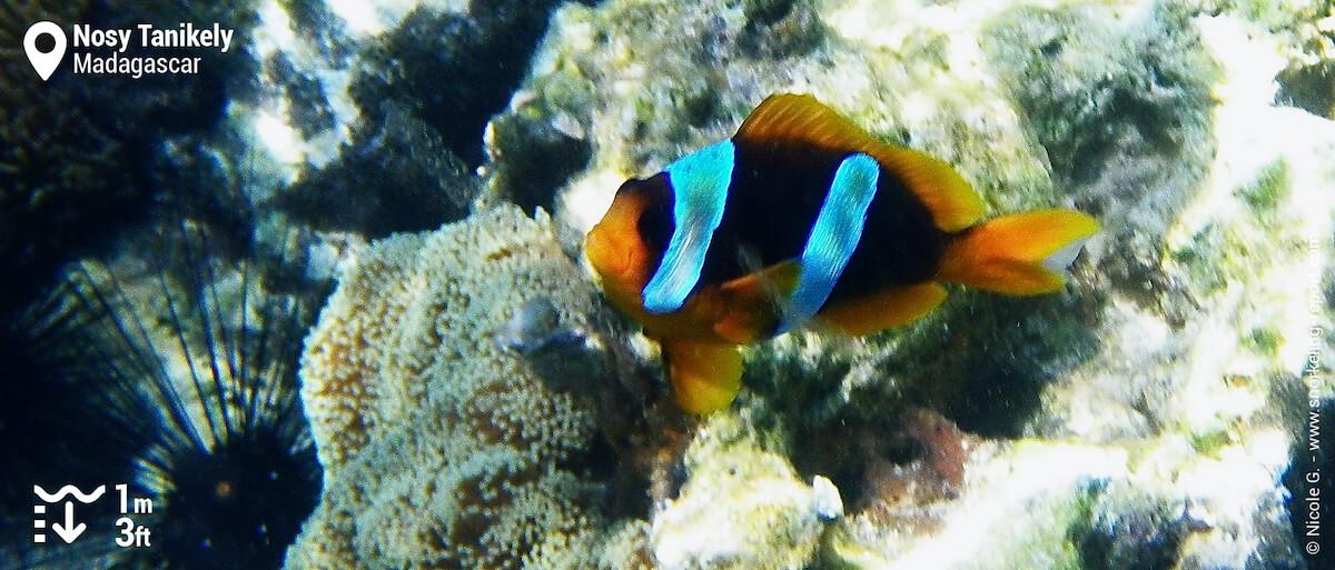 Madagascar clownfish at Nosy Tanikely