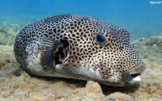 Pufferfish, porcupinefish & boxfish