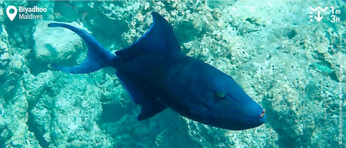 Redtoothed triggerfish at Biyadhoo