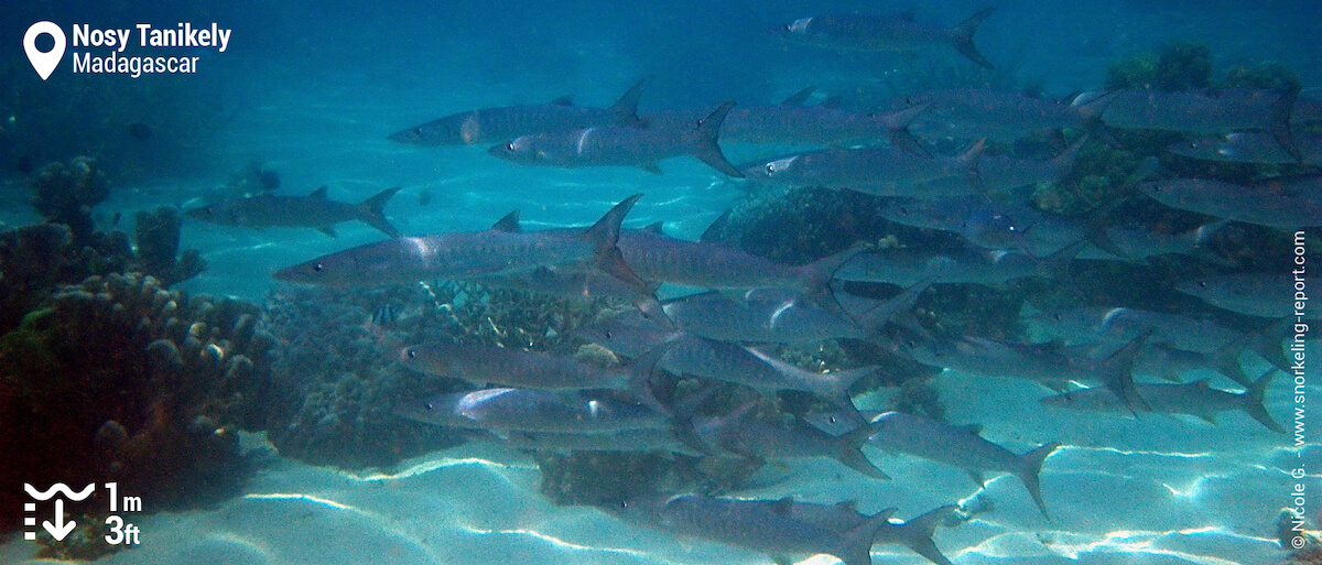 School of barracuda at Nosy Tanikely