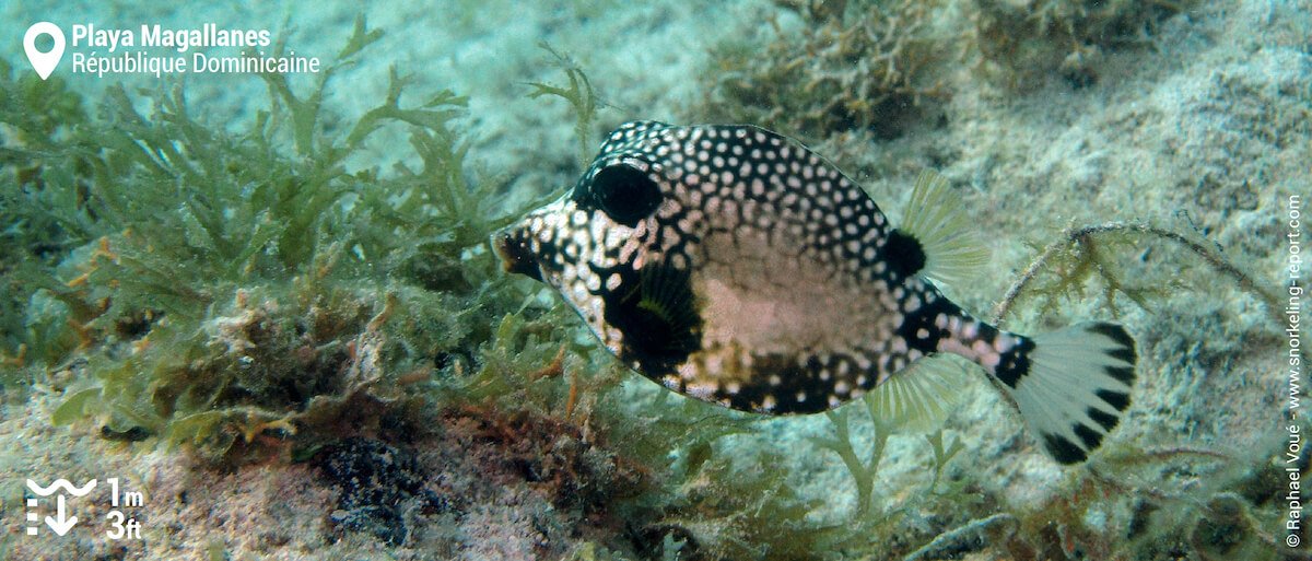 Smooth trunkfish at Playa Magallanes