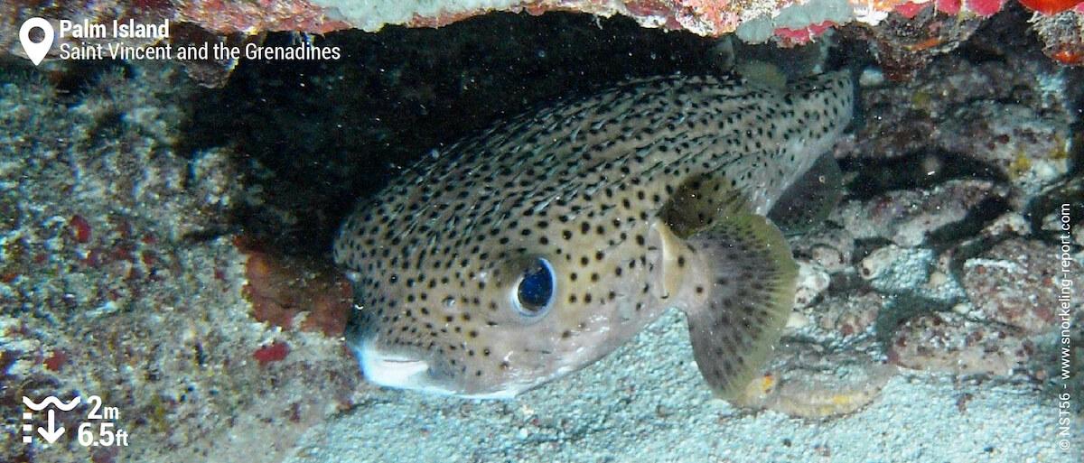 Spotfin porcupinefish