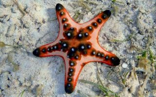 Les étoiles de mer